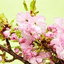 체리 블로썸(Cherry Blossom)